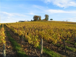 vignoble Sauternes 3