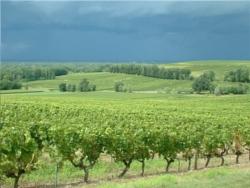 vignoble Sauternes 5